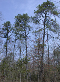Dry Pine-Oak Forest
