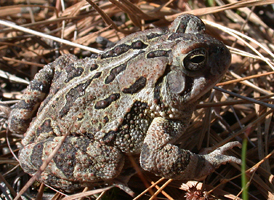 Fowler's Toad