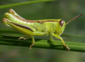 Grasshoppers/crickets