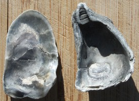 Common Oyster