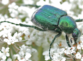 Emerald Flower Scarab