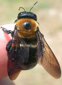 Common Eastern Bumble Bee Carpenter