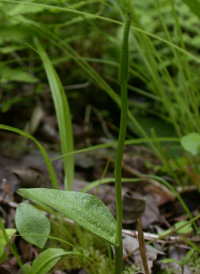 Southern Adder's-tongue