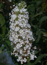 Common Butterfly-bush