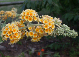 Orange Butterfly-bush
