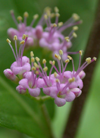 Chinese Beautyberry