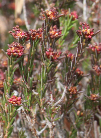 Broom-crowberry