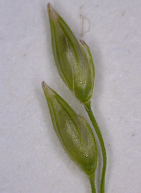 Long-leaved Panic-grass