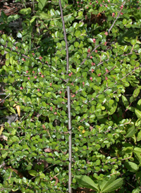Round-leaved Cotoneaster
