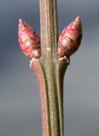 Winged Spindle