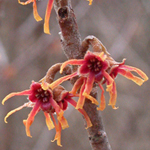 Intermediate Witch-hazel