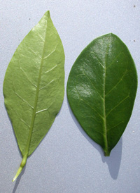 Oval-leaved Privet