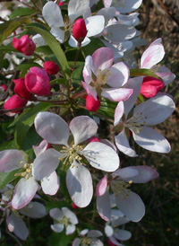 Southern Crab Apple