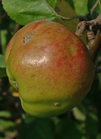 Cultivated Apple
