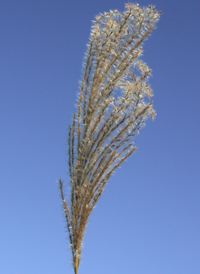 Chinese Silver-grass