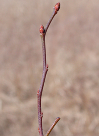 Early Lowbush Blueberry