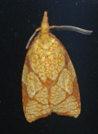 Reticulated Fruit Tortrix
