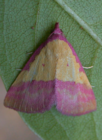 Pink-bordered Yellow