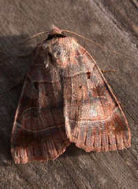 Pale-banded Dart
