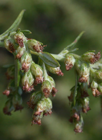 Common Mugwort