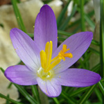 Early Crocus