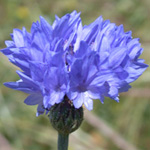 Common Cornflower