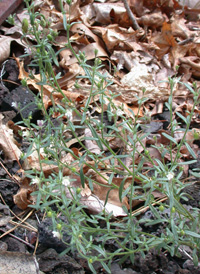 Small Toadflax