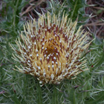 Yellow Thistle