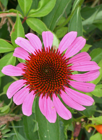 Eastern Purple Coneflower