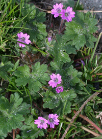 Dove's-foot Crane's-bill