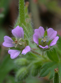 Small-flowered Crane's-bill