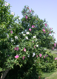 Common Hibiscus