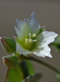 Jagged Chickweed