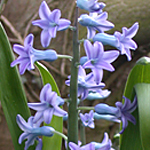 Common Hyacinth