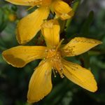 Perforate St. John's-wort