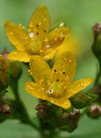 Spotted St. John's-wort