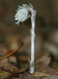 Indian-pipe