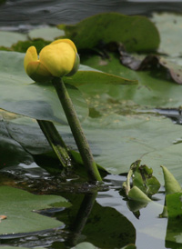 American Yellow Water-lily