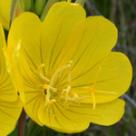 Narrow-leaved Evening-primrose