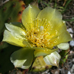 Northern Prickly-pear