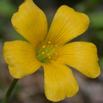 Slender Yellow-sorrel