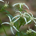 Toothed White Aster