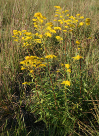 Anise-scented Goldenrod