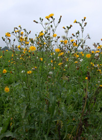 Perennial Sow-thistle