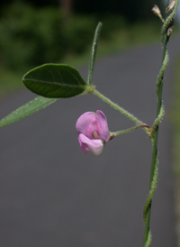 Small-flowered Fuzzy-bean