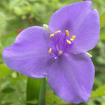 Virginia Spiderwort