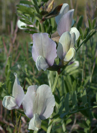 Large Yellow Vetch