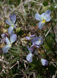 American Field Pansy
