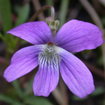 Northern Coast Violet