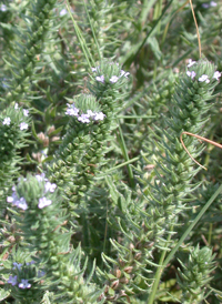 Large-bracted Vervain